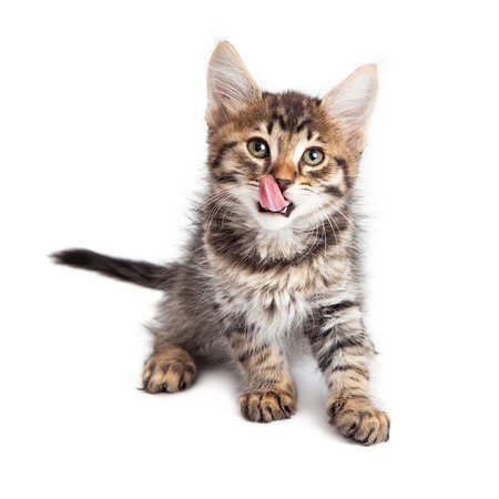 Cute young tabby kitten, tongue out licking lips. Isolated on white.
