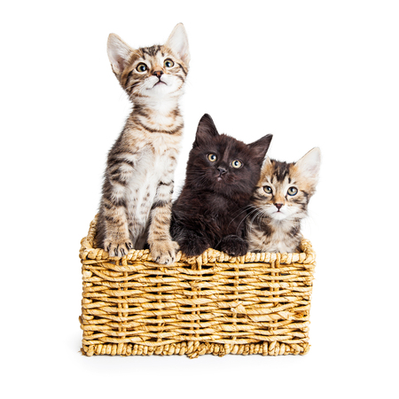 white cats: Three adorable kittens together in a wicker basket