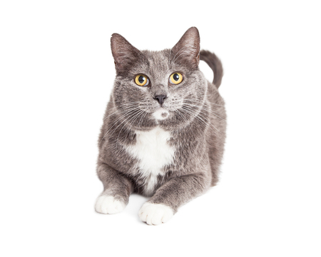 Adult grey and white color cat laying on white studio background