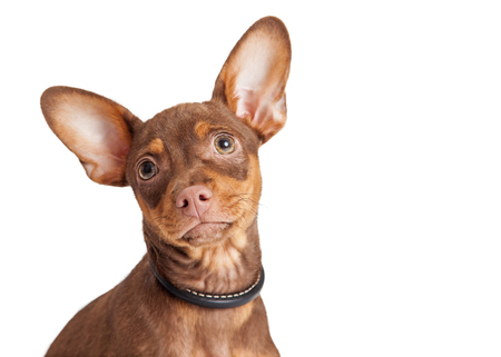 big dog: Close-up portrait of a small Chihuahua mixed breed dog with big ears and loving expression
