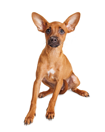 big dog: Cute little mixed breed small dog with big ears sitting over white background looking into camera