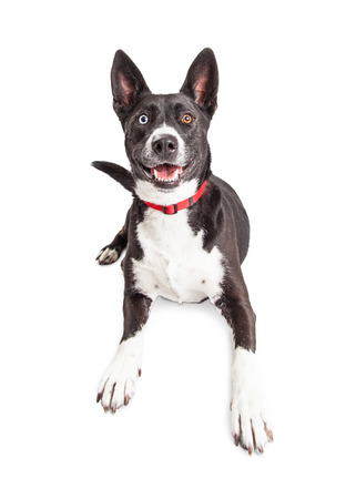 large dog: Smiling large black and white color large mixed breed dog laying over white background Stock Photo
