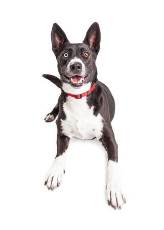 large dog: Smiling large black and white color large mixed breed dog laying over white background Stock Photo