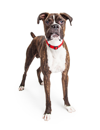 perro boxer: Perro grande boxeador cruce de pie sobre blanco mirando hacia adelante en la cámara