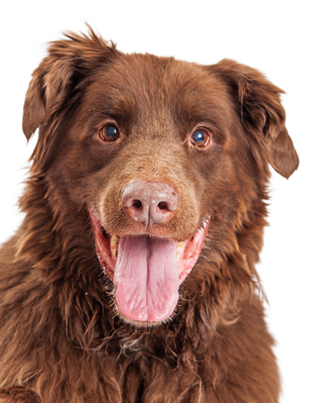 large dog: Portrait of happy and smiling brown color mixed large breed dog Stock Photo