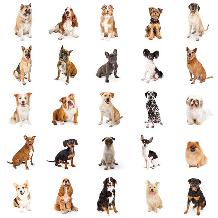 Large group of common purebred dogs sitting. Square format can be made into repeating pattern