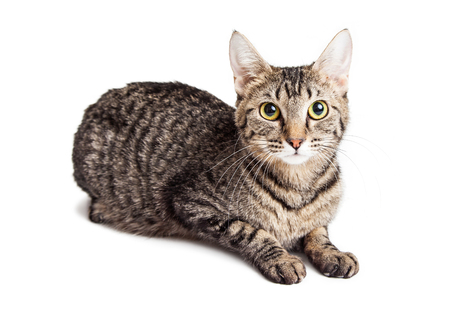 Attentive adult tabby cat laying down on white studio background looking into camera
