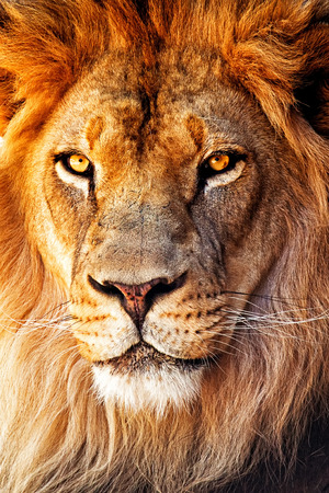 Closeup portrait of a male African lion