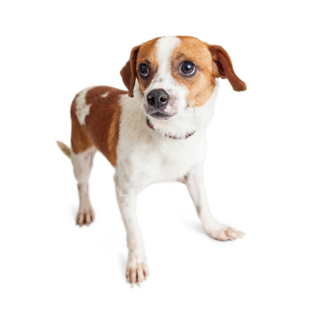 timid: Mixed small breed dog with shy and scared expression standing over white Stock Photo