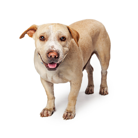 stocky: Mixed breed small stocky dog standing on white with happy expression Stock Photo