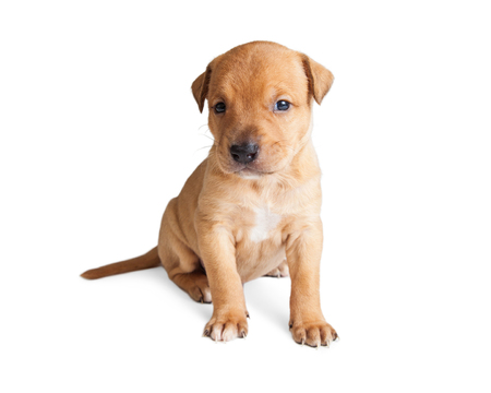 sit on studio: Cute little tan color puppy sitting on white studio background