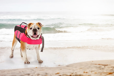 lifejacket: Bulldog breed dog wearing pink lifejacket while standing on beach at ocean