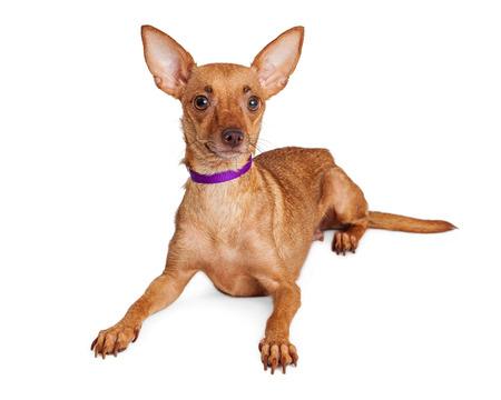 58508466-attentif-chihuahua-chien-de-croisement-avec-de-grandes-oreilles-et-collier-violet-