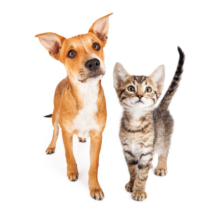 Cute puppy and kitten together walking forward over white studio background