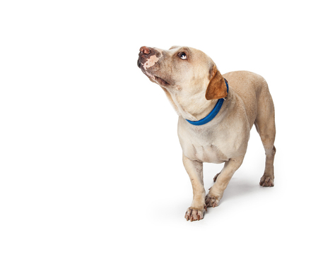 Dog with fearful expression and body language, standing on white looking up