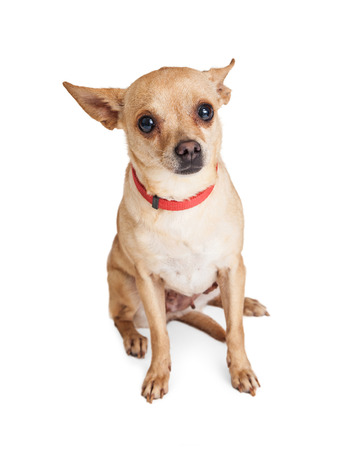 timid: Timid little Chihuahua dog wearing red collar sitting on white