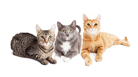 Three pretty adult mixed breed cats laying together on white studio background