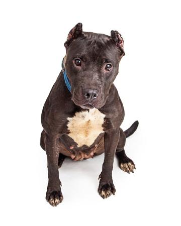 fondo blanco y negro: Gran perro Pit Bull con abrigo negro y las orejas cortadas sentado con expresión atenta