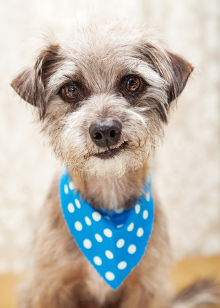smirking: Cute little terrier dog wearing blue bandana looking into camera and smirking Stock Photo