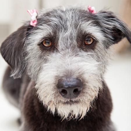 Closeup photo of grey terrier dog wearing pink hair bows Imagens