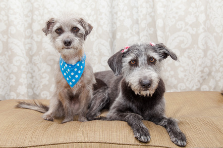 groomed: Two little terrier dogs of different sizes with freshly groomed fur Stock Photo