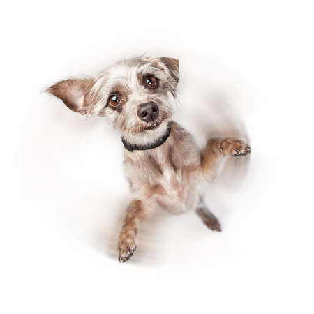 imply: Cute little dog standing on hind legs with paws up. Intentional motion blur to imply he is spinning around.