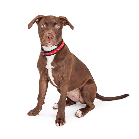 sit on studio: Young brown color crossbreed dog sitting on white background looking into camera Stock Photo