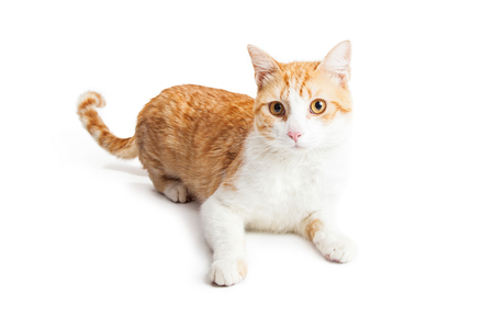 orange cat: Cute orange and white color cat laying down on white studio background