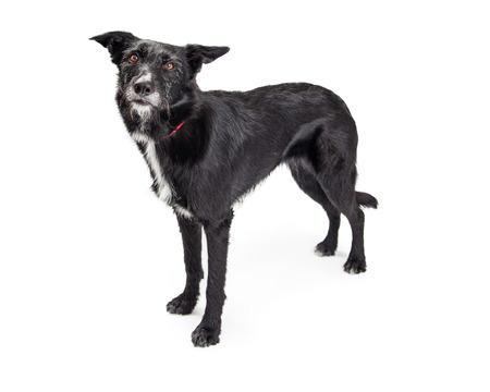 scruffy: Large dog with black scruffy fur standing on white studio background