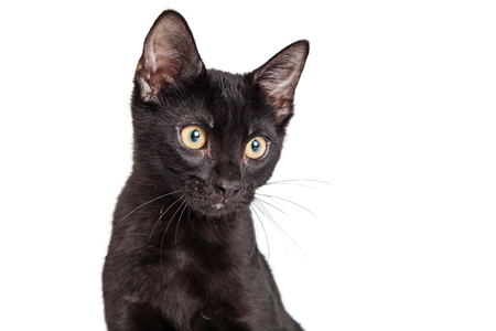 white cat: Adorable black kitten closeup with white copy space