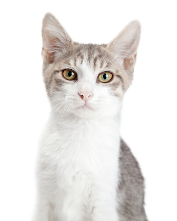 Portrait of pretty young grey and white cat looking into camera Stock Photo
