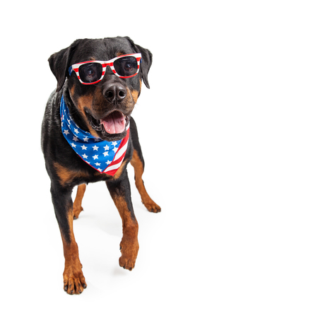 patriotic: Funny big Rottweiler dog wearing bandana and sunglasses with American flag design. Stock Photo