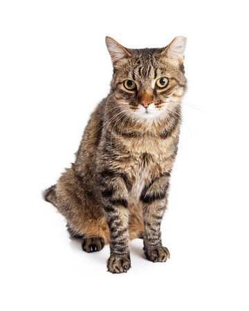Adult tabby cat with brown and black striped fur sitting on white studio background 版權商用圖片