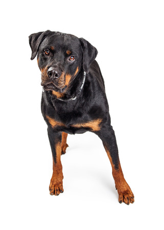 large dog: Pretty large Rottweiler dog standing on white studio background