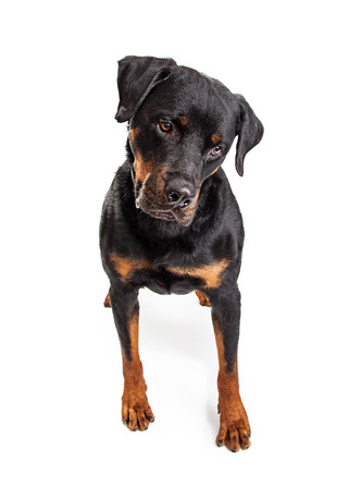 large dog: Large Rottweiler dog standing on white looking down at ground