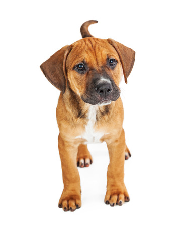 outs: Cute little brown mixed breed puppy standing on white studio background Stock Photo