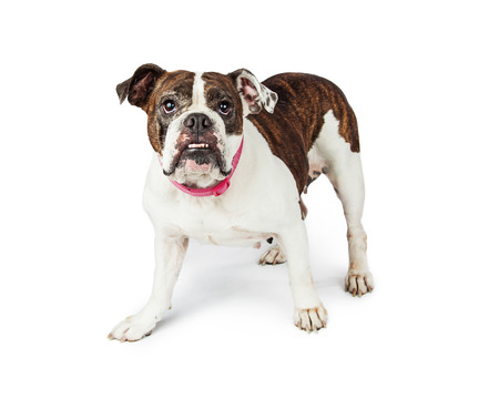 English Bulldog breed dog standing on white looking into camera Imagens