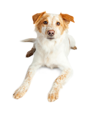 Pretty tan and white color Border Collie crossbreed dog laying down over white