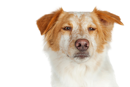 Portrait of mixed Border Collie breed dog with scowl and squinted eyes