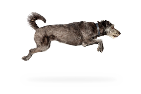 dog isolated: Action photo of dog jumping with all four limbs in air Stock Photo