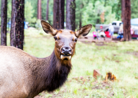 Closeup photo of a Elk standing in a wooded campground with blurred people and a tent in the background
