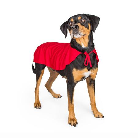 perros vestidos: Perro grande del cruce que lleva capa de superhéroe rojo. Aislado en blanco.