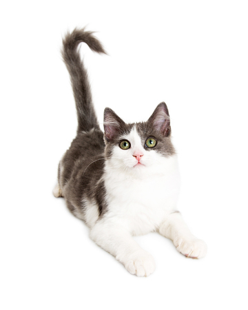 laying forward: Cute young little kitten laying on white looking forward Stock Photo