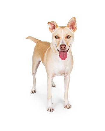 medium size: Friendly medium size mixed breed dog with yellow coat. Isolated on white. Stock Photo