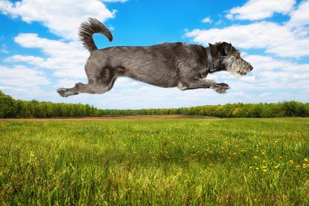 青空: オープン フィールドで澄んだ青い空と緑の芝生を飛び越えています空気中の犬