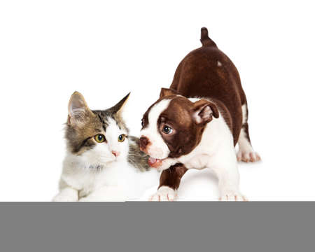 white playful: Cute little kitten annoyed with a playful Boston Terrier puppy. Isolated on white.