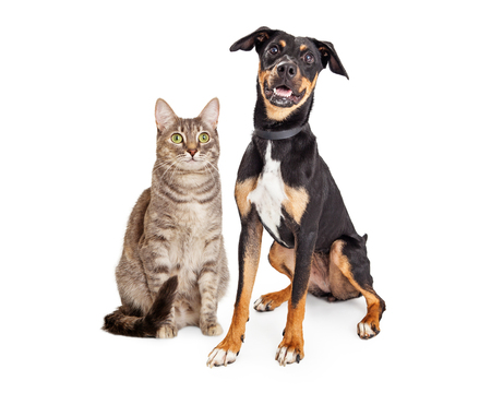 Happy large dog and tabby cat sitting together on white background