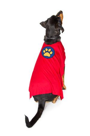 Large dog wearing superhero costume sitting on white facing backwards