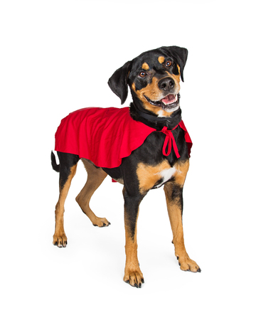 Happy and smiling dog wearing red super hero cape. Isolated on white.