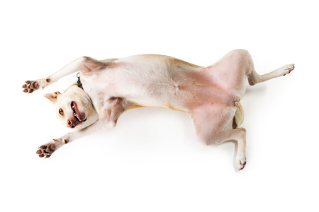 Overhead view of funny and playful dog laying on her back over white